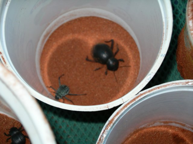 Toktokkie beetles caught in nocturnal trap